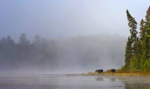 Moose in mist at lake's edge